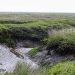 Zeeland-lamsoren-zeekraal-snijden-2021